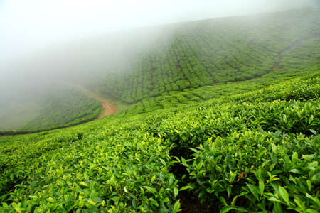 kerala culture: Tea field in munnar kerala, India