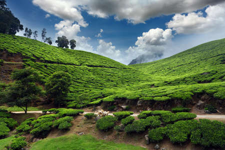 india pattern: Tea field in munnar kerala, India