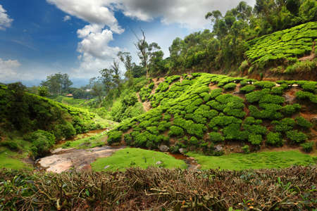 cropland: Tea field in munnar kerala, India