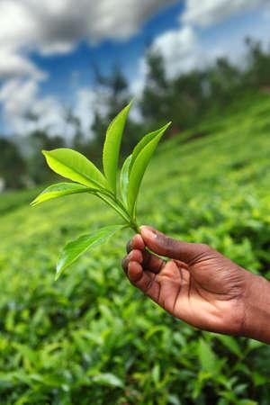 kerala culture: Tea field in munnar kerala, India