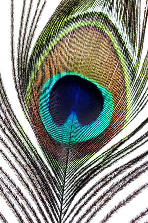 pavo: Close up of a peacock feather