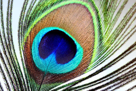 peacock eye: Close up of a peacock feather