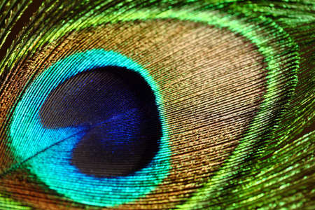 plumas de pavo real: Primer plano de una pluma de pavo real