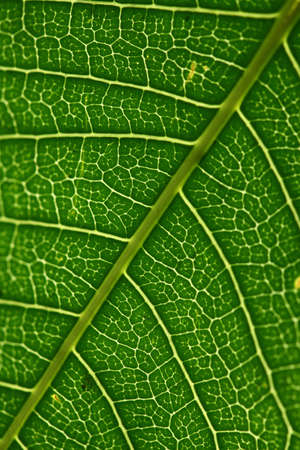 chlorophyll: The green leaf of plant surface - the background  Stock Photo