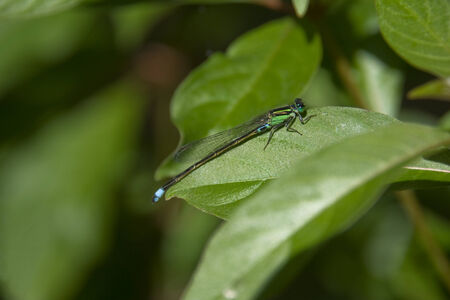 zygoptera: Damselfly on green leaf at Karanji lake, Mysore, karnataka, India, Asia