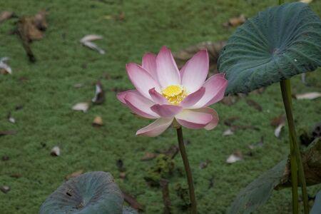 bird sanctuary: Lotus in a pond at Ranganatittu bird sanctuary, Mandya, Karnataka, India, Asia
