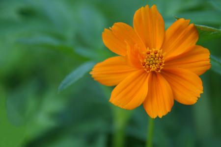 single family: Orange Aster flower at Cheluvamba park, Mysuru, Karnataka, India, Asia Stock Photo