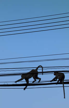 Two Monkeys are climbing in the power line in Thailand