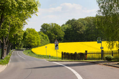 a yellow blooming rape field at a  small coutry road  photo