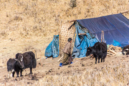 nomads: A nomad woman near Phobjikha valley, Bhutan  She is busy with her yaks  Nomads live in the mountains at a height of more than 3000 m