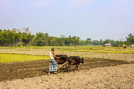 he is a traditional: A farmer from the east of India is plowing his field with an ox-team  He is wearing the traditional lunghi   unrecognizable person