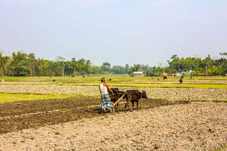 A farmer from the east of India is plowing his field with an ox-team  He is wearing the traditional lunghi   unrecognizable person