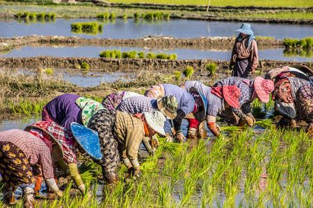flooded: Farmers near Keng Tung Myanmar are planting rice in the flooded field