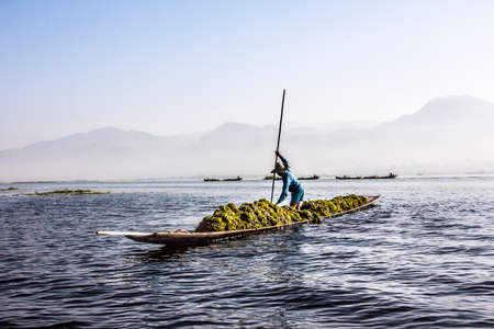 seaweeds: A man is gathering plants and seaweeds from Inle lake in his boat. In the background are more boats and the mountains. Editorial