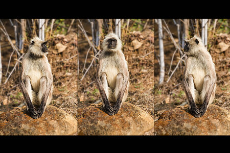 bhopal: One languor in three different poses At satpuda tiger reserve Bhopal Madhyapradesh India .