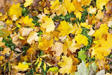 orange and yellow maple leaves lie on the grass