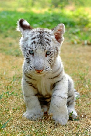 baby white tiger in chiang mai night safari thailand photo
