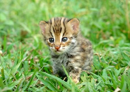 leopardcat de bebé  Foto de archivo
