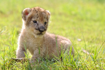 baby lion Stock Photo