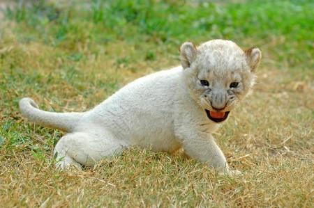 lion baby: baby Leone
