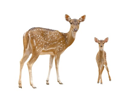 axis deer: axis deer isolated Stock Photo