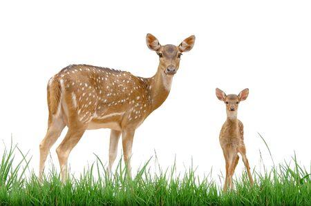 axis: Ciervo de eje con hierba verde aislado