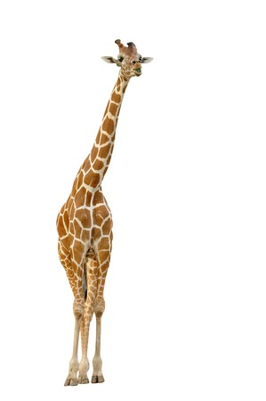 white background giraffe: giraffe isolated