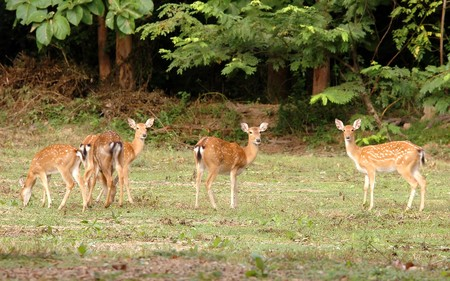 group of sika deer Stock Photo - 8269166