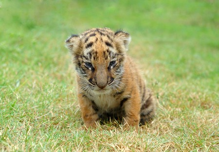 baby tiger photo