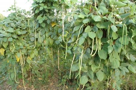 long bean farm photo