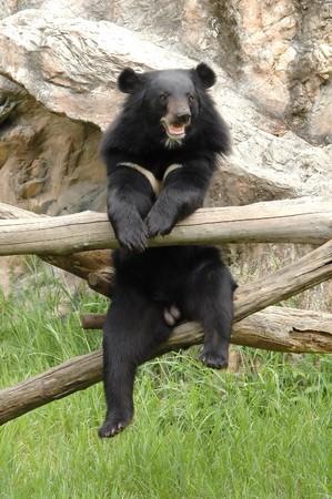 asiatic: asiatic black bear