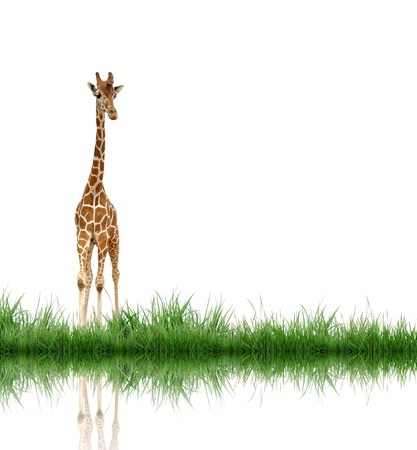giraffe with green grass isolated photo