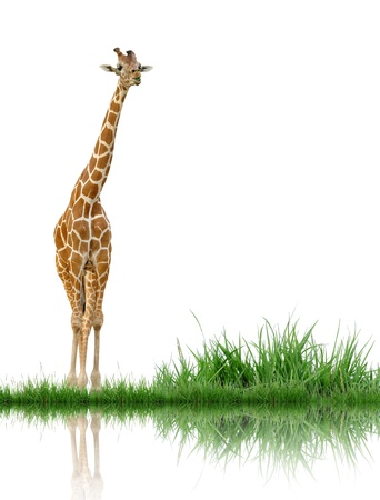 white background giraffe: giraffe with green grass isolated Stock Photo