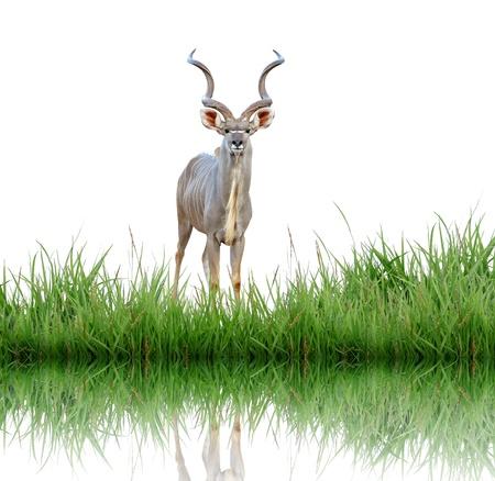 kudu with green grass photo
