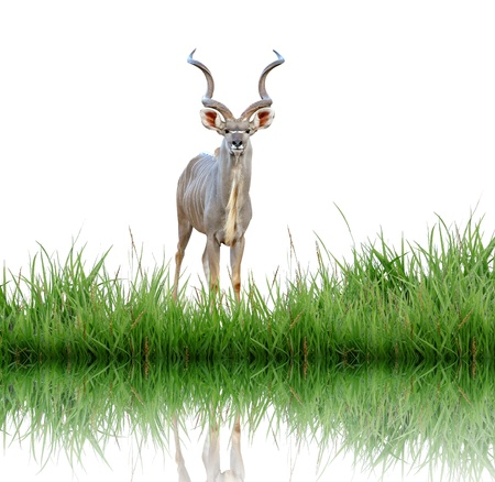 kudu with green grass Stock Photo