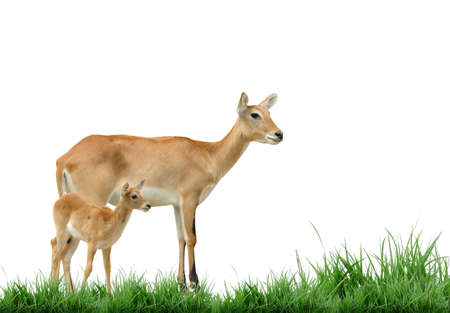 female red lechwe with baby photo