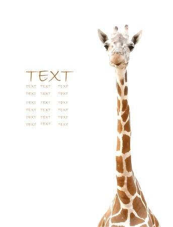 jirafa: cabeza de jirafa Foto de archivo