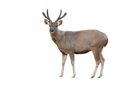 asia deer: sambar deer isolated