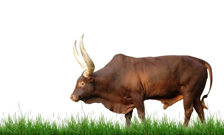 side of beef: watusi with green grass isolated