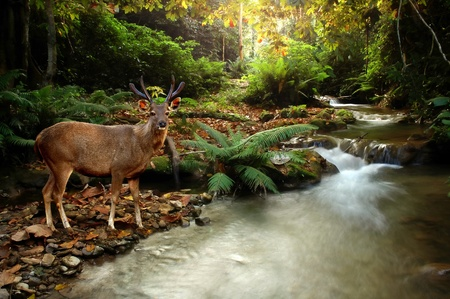tropical stream with sambar Stock Photo - 8429193