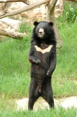 oso negro: oso asi�tica negro Foto de archivo