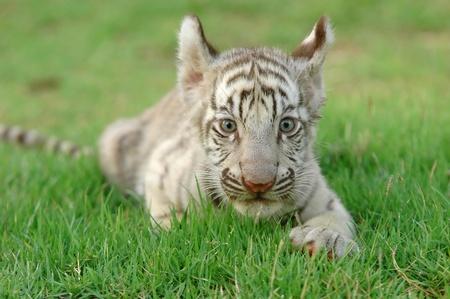 baby white tiger photo