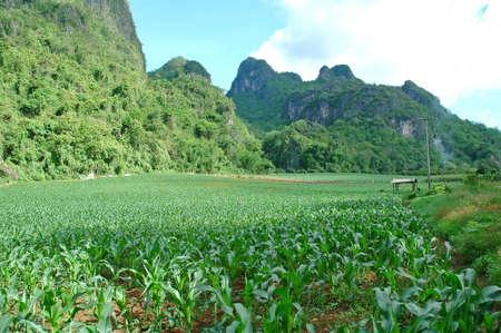 corn field Stock Photo - 8599568