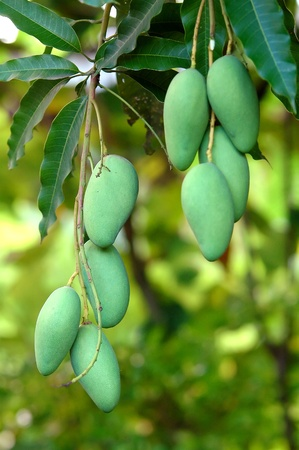 mango fruit: mango on tree