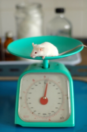 laboratory mice photo