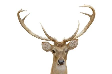 eld deer isolated