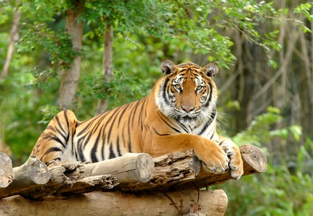 animal watching: bengal tiger