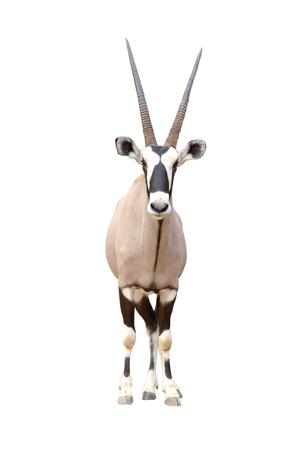 oryx isolated