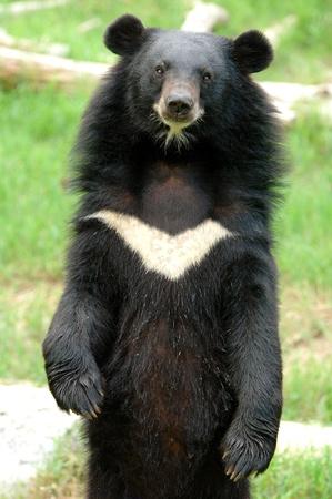 asiatic black bear Stock Photo - 8659504