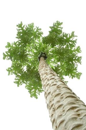 papaya tree photo